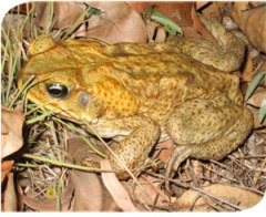 cane-toad-fs-photo