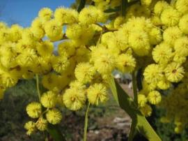Wattle good