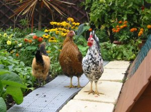 Chickens-on-path